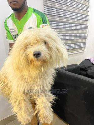 Purebreed Lhasa Apso Stud Service   Pet Services for sale in Abuja (FCT) State, Gwarinpa