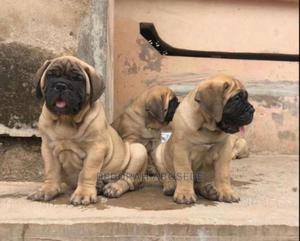 3-6 Month Male Purebred Bullmastiff | Dogs & Puppies for sale in Lagos State, Ikoyi