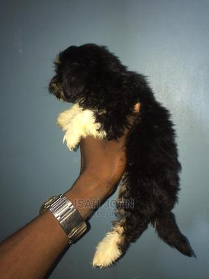 1-3 Month Male Purebred Lhasa Apso | Dogs & Puppies for sale in Lagos State, Ojo