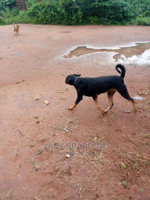 1+ Year Female Purebred Rottweiler | Dogs & Puppies for sale in Edo State, Ikpoba-Okha