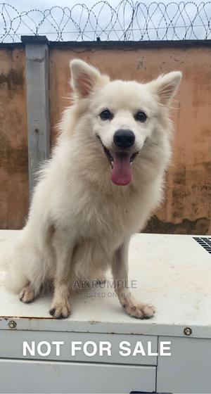 1+ Year Male Purebred American Eskimo | Dogs & Puppies for sale in Lagos State, Maryland