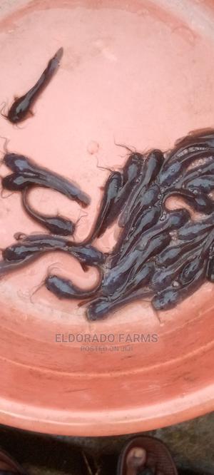 Catfish Heteroclarias Post Fingerlings | Fish for sale in Oyo State, Ibadan