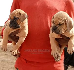 1-3 Month Female Purebred Boerboel   Dogs & Puppies for sale in Osun State, Osogbo