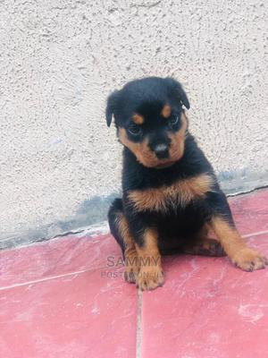 1-3 Month Female Purebred Rottweiler | Dogs & Puppies for sale in Edo State, Benin City