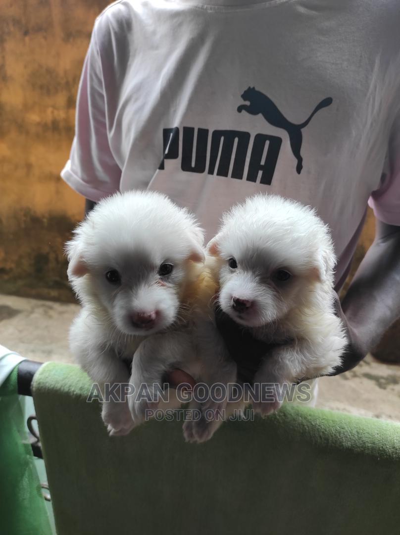 1-3 Month Female Purebred American Eskimo | Dogs & Puppies for sale in Ifako-Ijaiye, Lagos State, Nigeria