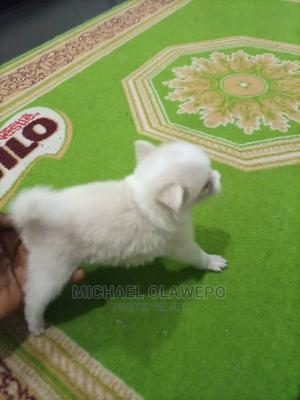 0-1 Month Female Purebred American Eskimo   Dogs & Puppies for sale in Lagos State, Mushin