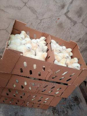 Healthy Day Old Broilers for Sale   Livestock & Poultry for sale in Oyo State, Ibadan