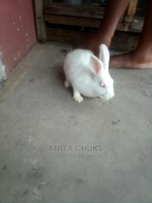 Rabbits for Sale | Other Animals for sale in Delta State, Warri