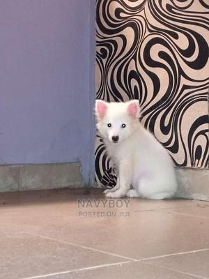 1-3 Month Male Purebred American Eskimo   Dogs & Puppies for sale in Lagos State, Ibeju