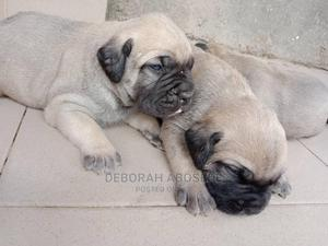 1-3 Month Female Purebred Boerboel | Dogs & Puppies for sale in Lagos State, Ikoyi
