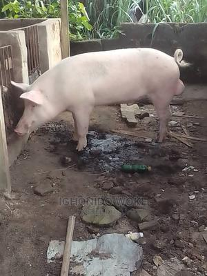 Large White Growers and Piglets   Livestock & Poultry for sale in Delta State, Ugheli
