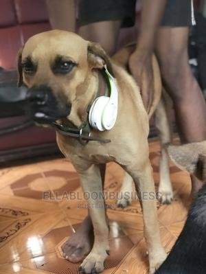 1+ Year Male Purebred Boerboel   Dogs & Puppies for sale in Lagos State, Ojo