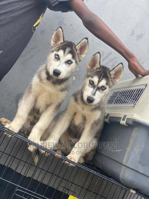 1-3 Month Male Purebred Siberian Husky | Dogs & Puppies for sale in Lagos State, Agege