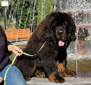 1+ Year Female Purebred Tibetan Mastiff | Dogs & Puppies for sale in Lagos State, Isolo