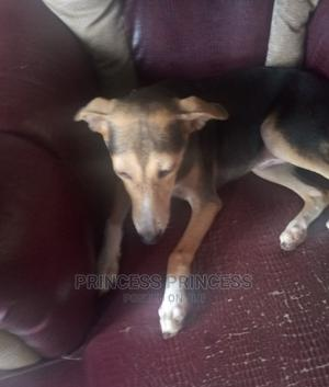 3-6 Month Male Mixed Breed Dog | Dogs & Puppies for sale in Ogun State, Ado-Odo/Ota