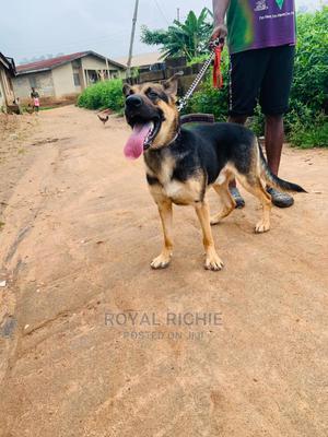 1+ Year Male Purebred German Shepherd | Dogs & Puppies for sale in Ekiti State, Ado Ekiti