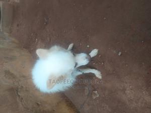 1+ Year Male Purebred American Eskimo | Dogs & Puppies for sale in Ogun State, Ado-Odo/Ota