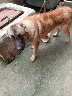 6-12 Month Male Mixed Breed Caucasian Shepherd   Dogs & Puppies for sale in Nasarawa State, Nasarawa