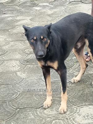 1+ Year Male Mixed Breed Doberman Pinscher | Dogs & Puppies for sale in Delta State, Warri