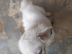 3-6 Month Male Purebred American Eskimo | Dogs & Puppies for sale in Ogun State, Ado-Odo/Ota