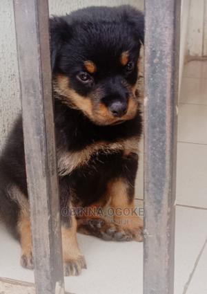 1-3 Month Male Purebred Rottweiler | Dogs & Puppies for sale in Oyo State, Akinyele