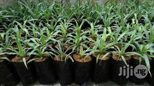 Pineapple Seedling Plant | Garden for sale in Plateau State, Jos