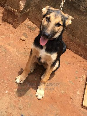 3-6 Month Female Purebred German Shepherd   Dogs & Puppies for sale in Lagos State, Ikorodu
