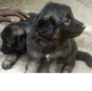1-3 month Female Purebred Caucasian Shepherd | Dogs & Puppies for sale in Lagos State, Ikeja