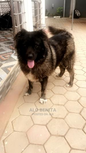 1+ Year Female Purebred Caucasian Shepherd   Dogs & Puppies for sale in Ondo State, Akure
