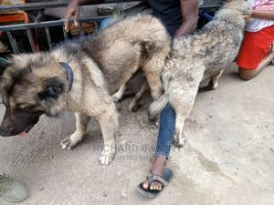 1+ Year Male Purebred Caucasian Shepherd   Dogs & Puppies for sale in Lagos State, Ikotun/Igando