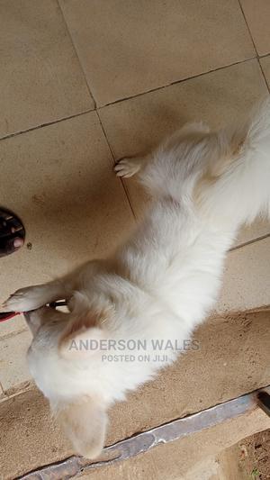 6-12 Month Female Purebred American Eskimo | Dogs & Puppies for sale in Osun State, Ede