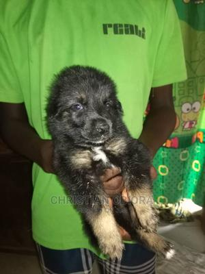 1-3 month Female Purebred German Shepherd   Dogs & Puppies for sale in Anambra State, Onitsha