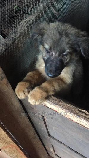 1-3 Month Female Purebred Caucasian Shepherd | Dogs & Puppies for sale in Anambra State, Orumba