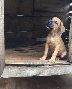 1-3 Month Male Purebred Boerboel | Dogs & Puppies for sale in Oyo State, Ibadan