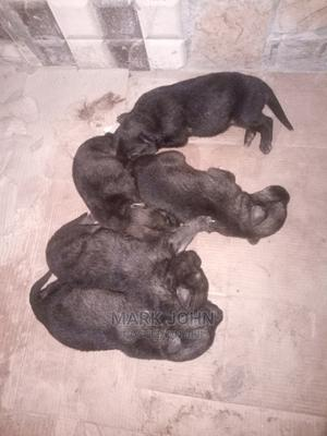 0-1 Month Female Mixed Breed Caucasian Shepherd | Dogs & Puppies for sale in Abuja (FCT) State, Mpape