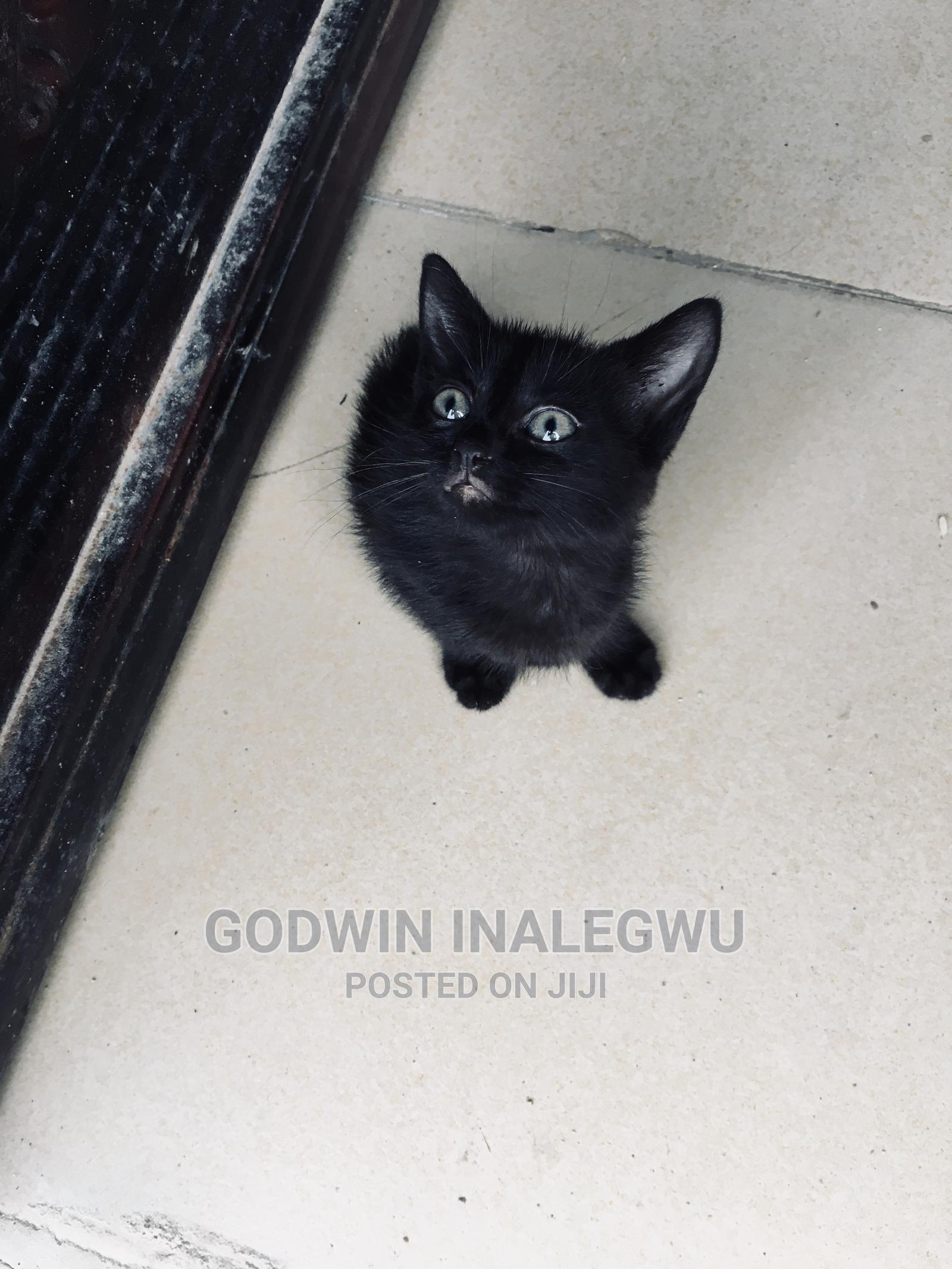 1-3 Month Male Purebred Bombay   Cats & Kittens for sale in Wuse 2, Abuja (FCT) State, Nigeria