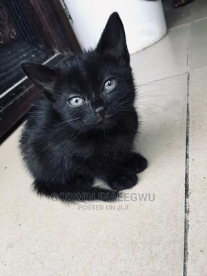 1-3 Month Male Purebred Bombay | Cats & Kittens for sale in Abuja (FCT) State, Wuse 2