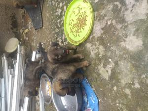 1-3 Month Female Mixed Breed Caucasian Shepherd | Dogs & Puppies for sale in Abuja (FCT) State, Lugbe District