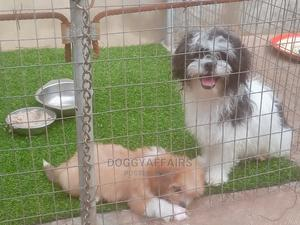 1+ Year Male Purebred Lhasa Apso | Dogs & Puppies for sale in Ondo State, Akure