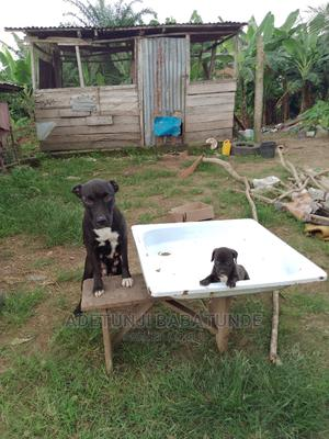 1-3 Month Male Purebred American Pit Bull Terrier   Dogs & Puppies for sale in Oyo State, Oluyole