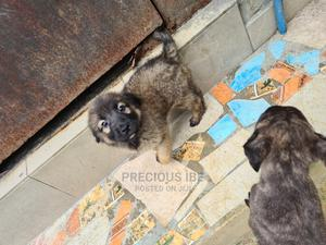 1-3 Month Male Mixed Breed Caucasian Shepherd | Dogs & Puppies for sale in Rivers State, Oyigbo