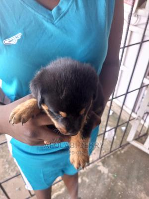 0-1 Month Female Purebred Rottweiler | Dogs & Puppies for sale in Edo State, Benin City