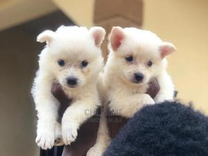 1-3 Month Male Purebred American Eskimo | Dogs & Puppies for sale in Edo State, Benin City