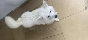 3-6 Month Male Purebred American Eskimo | Dogs & Puppies for sale in Cross River State, Calabar
