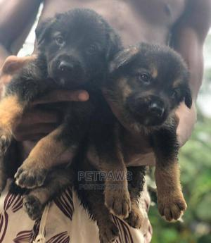 1-3 Month Female Purebred German Shepherd | Dogs & Puppies for sale in Akwa Ibom State, Uyo