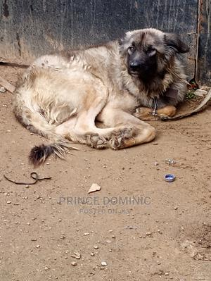 1+ Year Female Purebred Caucasian Shepherd   Dogs & Puppies for sale in Abuja (FCT) State, Jikwoyi