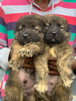 0-1 Month Male Purebred Caucasian Shepherd | Dogs & Puppies for sale in Lagos State, Surulere