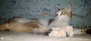 6-12 Month Female Purebred American Shorthair   Cats & Kittens for sale in Kano State, Tarauni