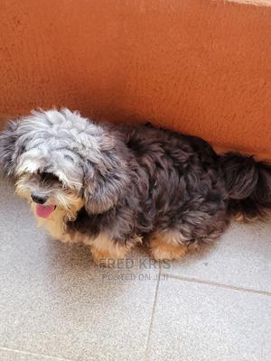 6-12 Month Male Purebred Lhasa Apso | Dogs & Puppies for sale in Anambra State, Onitsha