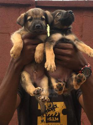 1-3 Month Male Mixed Breed German Shepherd   Dogs & Puppies for sale in Osun State, Ife